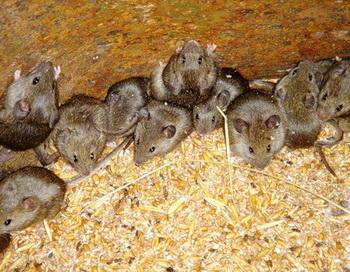 Поющая мышь случайно выведена учеными. Фото с сайта: ig130655.ya.ru