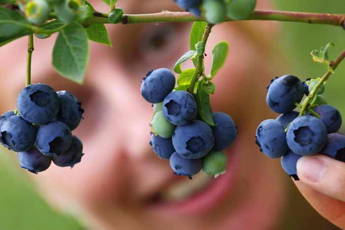 Черника богата антиоксидантами, которые полезны для мозговой деятельности и зрения. Фото: Michael Urban/AFP/Getty Images