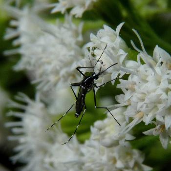 Азиатский тигровый комар. Фото: John B./Flickr.com