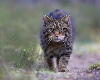 Шотландская дикая кошка. Фото Королевского зоологического сообщества Шотландии