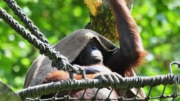 Счастливые орангутанги живут дольше. Фото с sueddeutsche.de