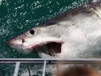 Большая белая акула привлечена приманкой на Shark Lady Adventure Tour 19 октября 2009 года, Гансбай, Южная Африка. Некоторые нападения акул, возможно, произошли из-за того, что их приучили к подкормке. Фото:Dan Kitwood/Getty Images