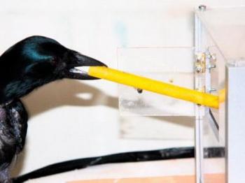 Новокаледонский ворон Уэк использует инструмент для доступа в коробку через окно. Фото с сайта theepochtimes.com