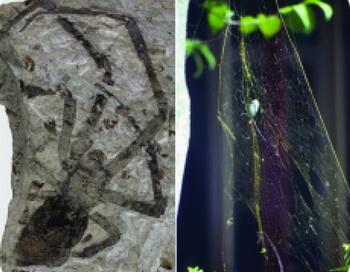 Крупнейший ископаемый паук принадлежит к живущему сейчас роду Nephila, или золотые ткачи. (Kansas University). Фото с сайта theepochtimes.com