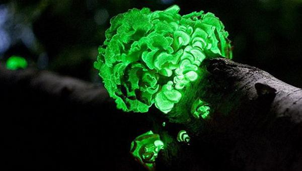 Светящиеся грибы. Фото с сайта ba-bamail