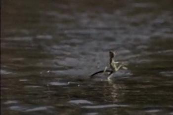Василиск – ящерица, ходящая по воде. Фото с сайта ba-bamile