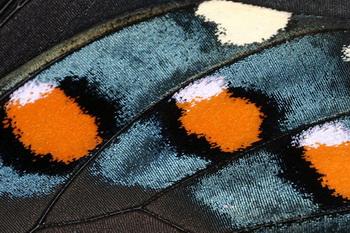 Крылья бабочки Морфа. Фото с сайта ba-bamile