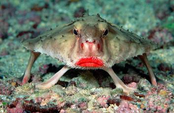 Диковенная рыба-летучая мышь. Фото: National Geoerafhic