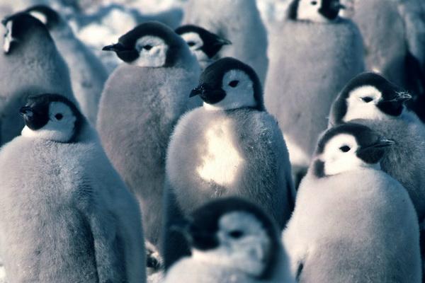 2. Птенцы императорского пингвина. Фото: British Antarctic Survey