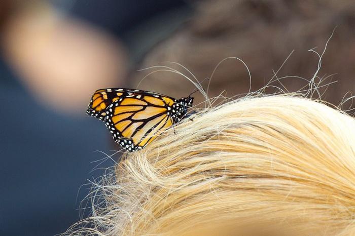 Выпущенная бабочка монарх. Фото: Marty Melville/AFP/Getty Images