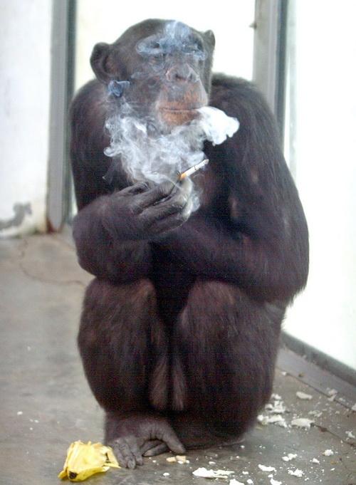 Ай Ай, 26-летний шимпанзе, наслаждается сигаретой после еды в зоопарке в Сиане в провинции центрального Китая Шэньси. В Саут-Бенде, Индиана, есть закон, запрещающий курение обезьян. Фото: AFP/Getty Images