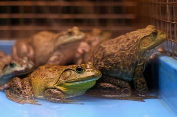 Как выживают лягушки после замерзания. Фото: Cameron Spencer/Getty Images