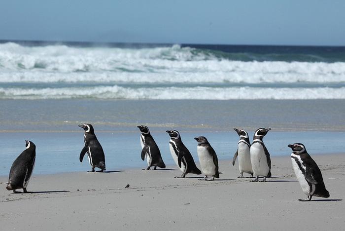 Магеллановы пингвины. Фото: Liam Quinn/flickr.com