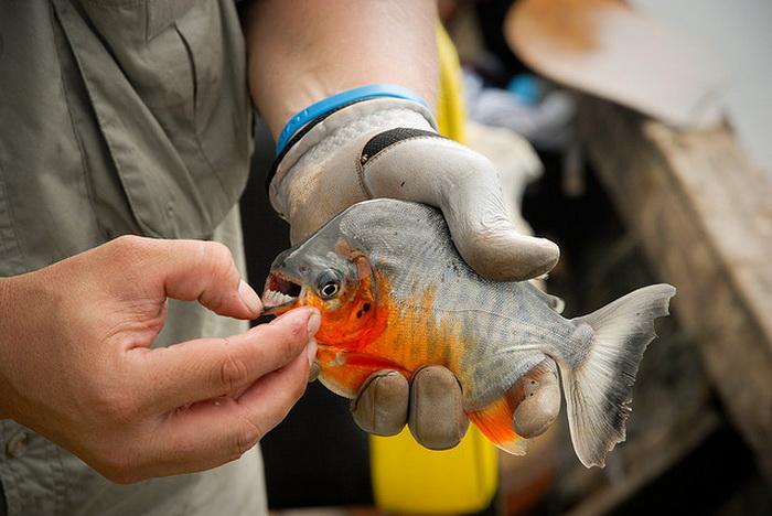 В Балтийском море поймали пиранью паку. Фото: AmazonExpeditions/flickr.com