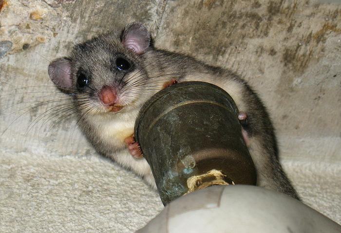 Сони-полчки, грызуны семейства соневых, в летнее время запасают очень много жира, которого должно хватить на долгую зимнюю спячку в подземных норах. Фото: Michael Hanselmann/commons.wikimedia.org