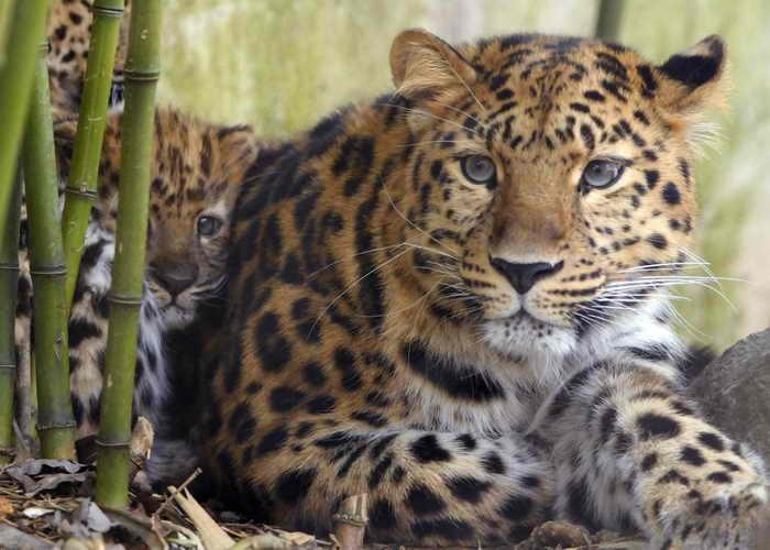 Дальневосточный леопард. Фото: SEBASTIEN BOZON/AFP/Getty Images