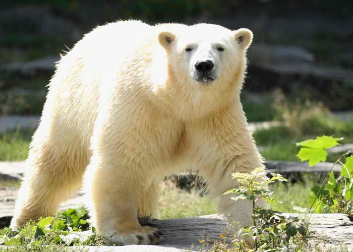 Учёные США выяснили, благодаря чему белые медведи выживают в таких суровых климатических условиях. Фото: Sean Gallup/Getty Images