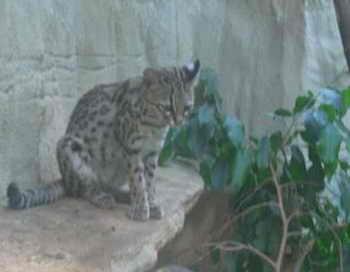 Кошки-онциллы. Фото: Altaipanther/wikimedia.org