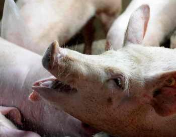 В Европе домашние свиньи появились 7 тысяч лет назад. Фото: RAUL ARBOLEDA/AFP/Getty Images