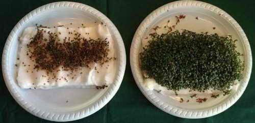 Семена клоповника посевного (слева), подвергшиеся Wi-Fi-излучению от двух маршрутизаторов. Семена клоповника посевного (справа), не подвергшиеся Wi-Fi-излучению. Фото: Kim Horsevad, Hjallerup