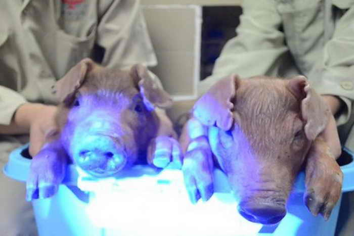 Генетически модифицированные свиньи, которые светятся в темноте под ультрафиолетовыми лучами, были выведены в провинции Гуандун. Фото: SouthChina Agricultural University