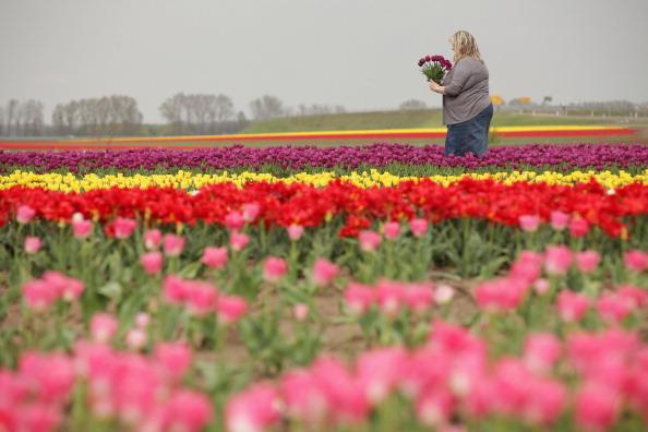 Тюльпанные поля в Германии. Фото: Sean Gallup/Getty Images