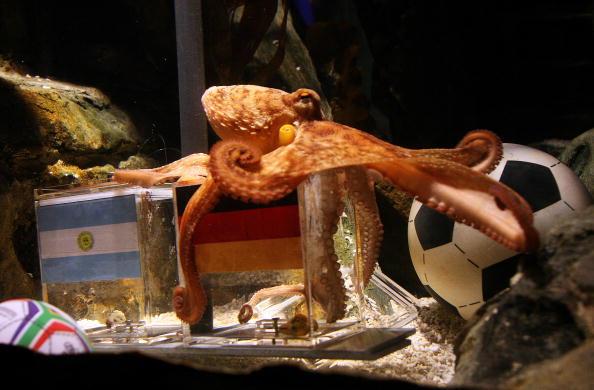 Осьминог Пауль предскажет результат финала ЧМ-2010 по футболу. Фото: ROLAND WEIHRAUCH/AFP/Getty Images