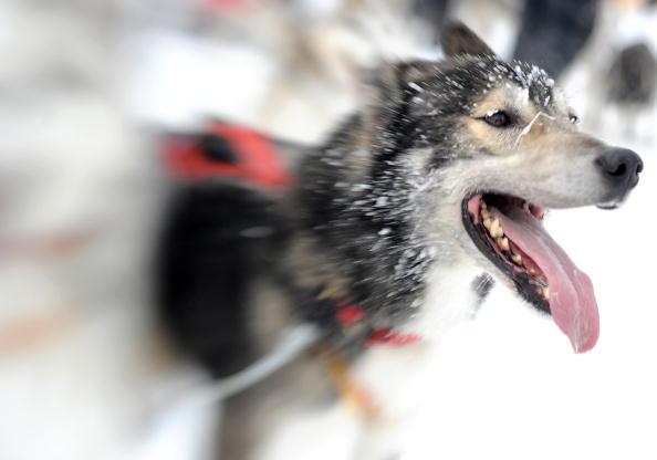 Гонки на собачьих упряжках: чемпионат мира в  Доновалы, Словакия. Фоторепортаж. Фото: UWE MEINHOLD/JOE KLAMAR/AFP/Getty Images