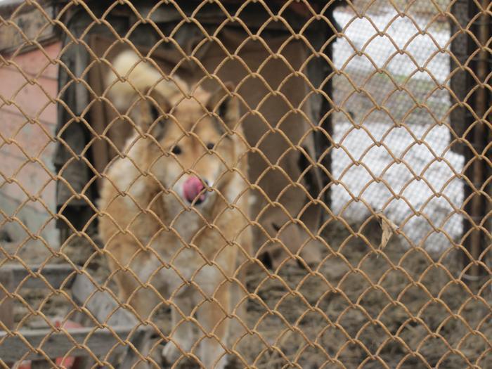 Собака, проживающая в питомнике. Фото: Мария ЗАГВАЗДИНА/Великая Эпоха (The Epoch Times)