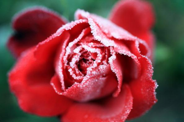 Розы, покрытые инеем в садах графства Чешир. Фото: Christopher Furlong/Getty Images