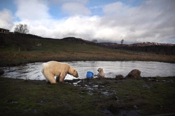Белые медведи в Хайленд-Парке дикой природы Шотландии. Фото: Jeff J Mitchell/Getty Images