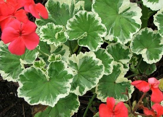 Лечебные свойства семи комнатных растений. Герань. Фото с сайта fresher.ru