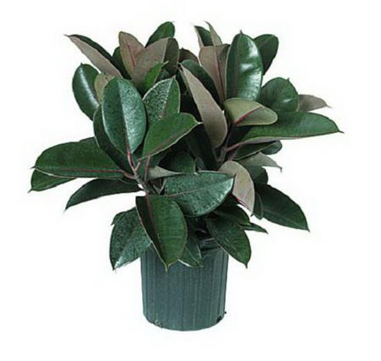 Лечебные свойства семи комнатных растений. Фикус. Фото с сайта fresher.ru