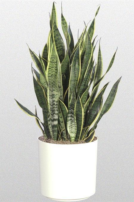 Лечебные свойства семи комнатных растений. Сансевиерия. Фото с сайта fresher.ru