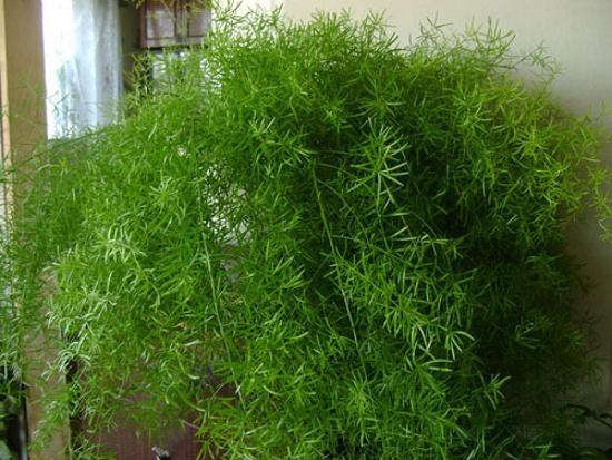 Лечебные свойства семи комнатных растений. Аспарагус. Фото с сайта fresher.ru