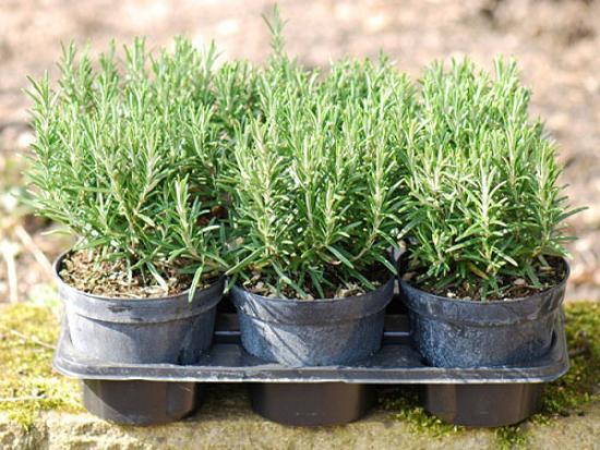 Лечебные свойства семи комнатных растений. Розмарин лекарственный (Rosmarinus officinalis). Фото с сайта fresher.ru