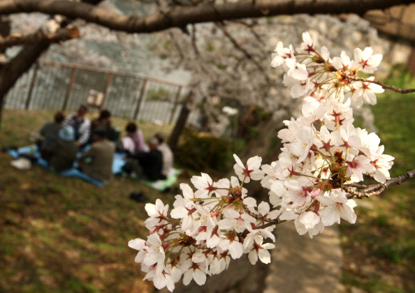 В японских садах цветёт вишня (сакура). Фото: Buddhika Weerasinghe/Getty Images