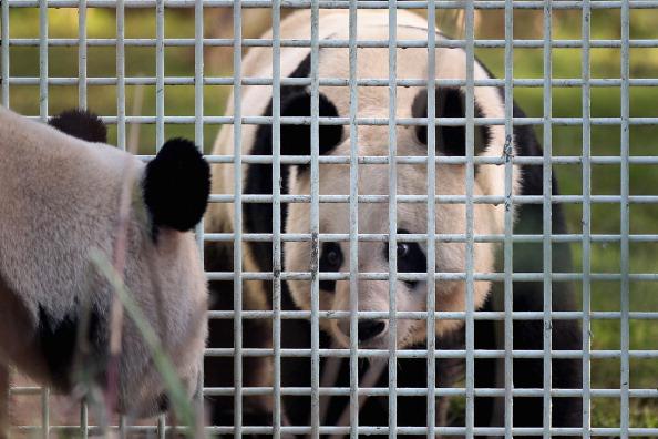 Китайские гигантские панды Тянь-Тянь и Ян Гуан в Эдинбургском зоопарке. Фото: Jeff J Mitchell/Getty Images