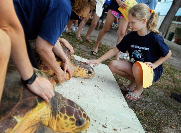 Две болван черепахи выпущены в дикую природу после реабилитации  в Майами. Фоторепортаж. Фото:  Joe Raedle/Getty Images