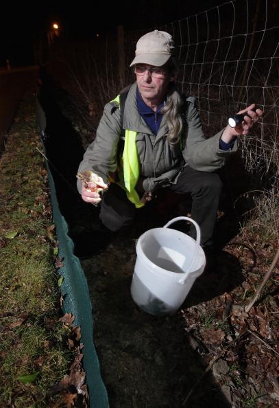 Волонтеры  спасают жаб, мигрирующих на нерест. Фоторепортаж. Фото: Sean Gallup/Getty Images