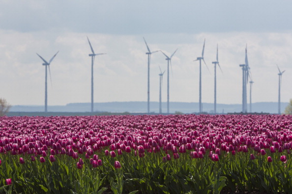 Поля цветущих тюльпанов в окрестностях Магдебурга. Фото: Carsten Koall/Getty Images