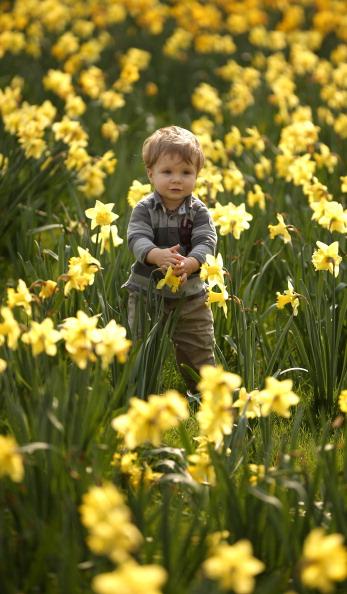 Нарциссы  цветут в Гайд-парке Лондона. Фото: Peter Macdiarmid/Getty Images
