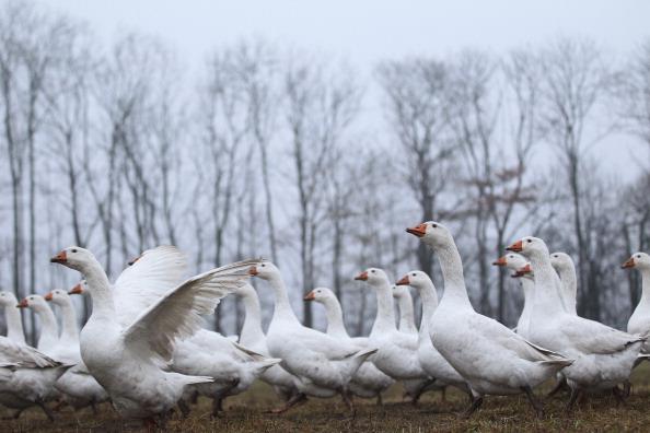 Рождественские гуси на ферме в Германии Фото: Sean Gallup/Getty Images