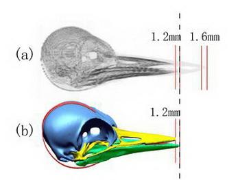Томография черепа дятла и одна из компьютерных моделей. Фото с сайта PLoS One