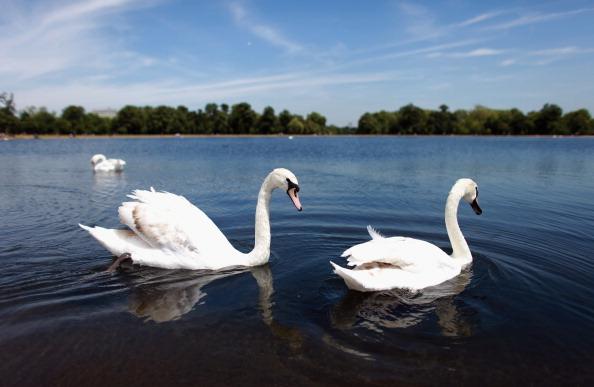 Лебеди. Фото:  Oli Scarff/Getty Images