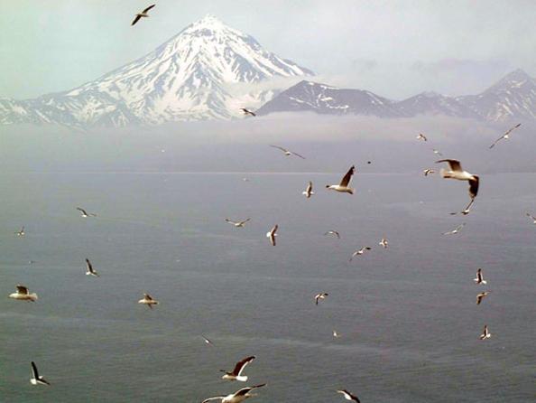 Массовая гибель птенцов тихоокеанской чайки происходит на Камчатке. Фото с сайта fauna-dv.ru