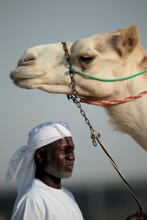Верблюжьи бега прошли в Дубае (ОАЭ) 17 ноября 2013 года в рамках гоночного сезона Al Marmoum. Фото: Christopher Furlong / Getty Images