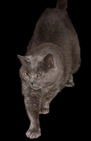 Шартрез, или Картезианская кошка — выведенная во Франции порода короткошёрстных кошек. Фото: Eudmian/commons.wikimedia.org
