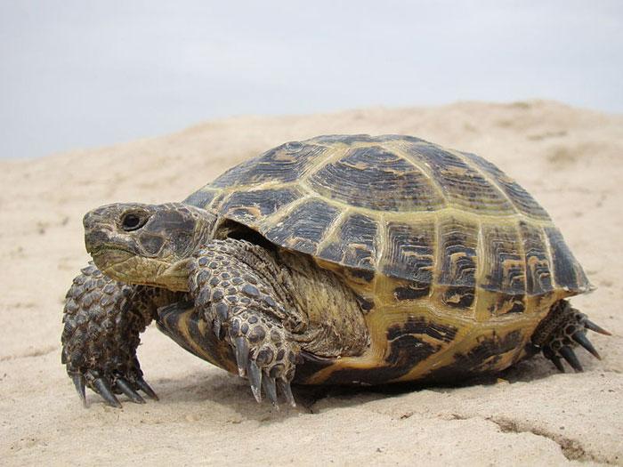 Среднеазиатская черепаха, занесена в Международную Красную книгу. Фото: Yuriy75/commons.wikimedia.org