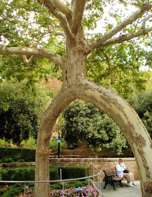 Дерево в форме арки в Gilroy Gardens. фото: Mark & Naomi Iliff/flickr.com